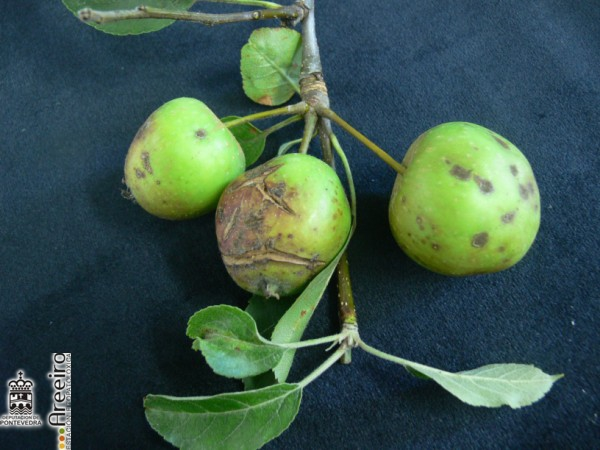 Damage of apple scab on apple fruit